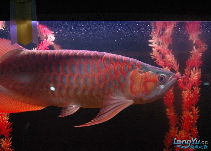 一条很红的红龙 绵阳龙鱼论坛 绵阳水族批发市场第7张