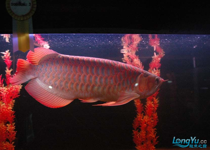 一条很红的红龙 绵阳龙鱼论坛 绵阳水族批发市场第8张