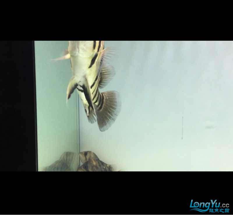 这是4纹印尼虎吧 绵阳龙鱼论坛 绵阳水族批发市场第1张