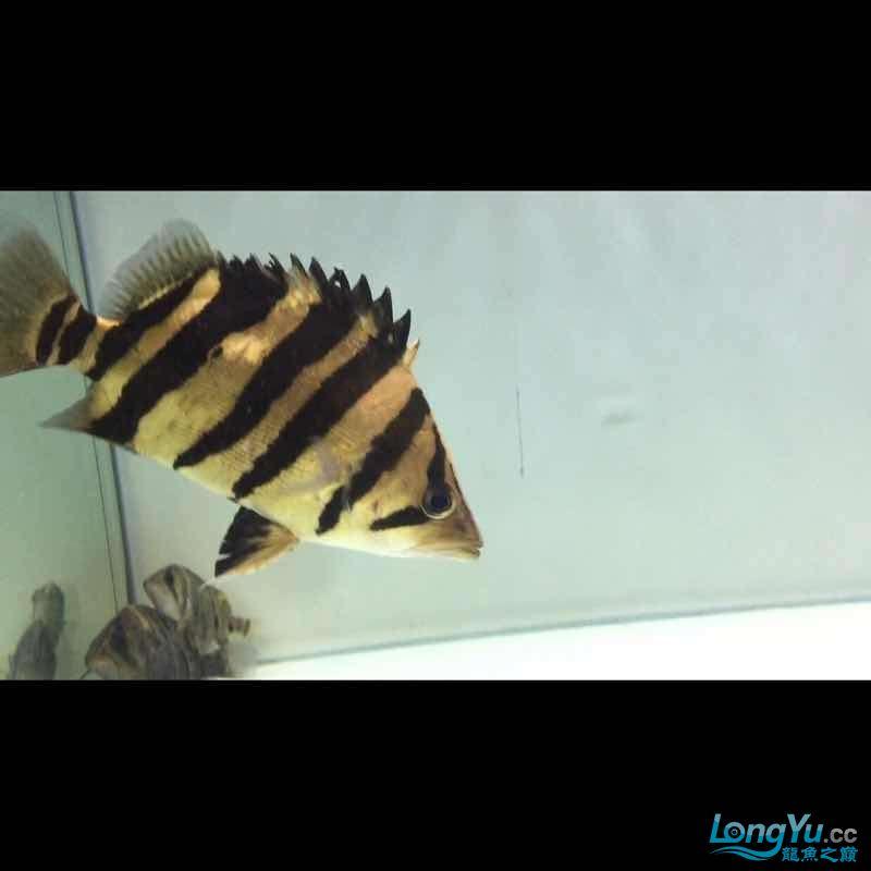 这是4纹印尼虎吧 绵阳龙鱼论坛 绵阳水族批发市场第3张