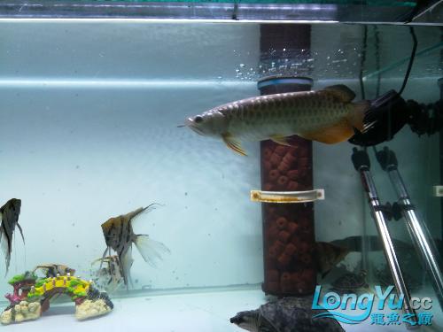 大家给看看我的小龙 绵阳龙鱼论坛 绵阳水族批发市场第5张