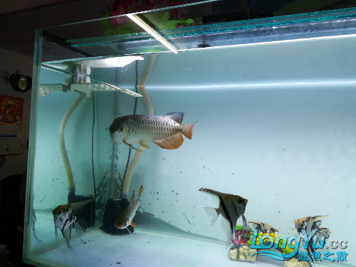 大家给看看我的小龙 绵阳龙鱼论坛 绵阳水族批发市场第6张