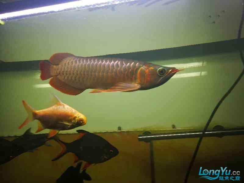 爬缸3天,撤掉绵阳观赏鱼黑背景好了。 绵阳龙鱼论坛 绵阳水族批发市场第1张