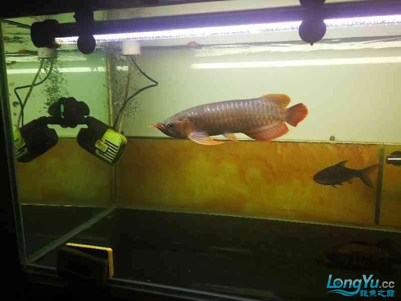爬缸3天,撤掉绵阳观赏鱼黑背景好了。 绵阳龙鱼论坛 绵阳水族批发市场第3张