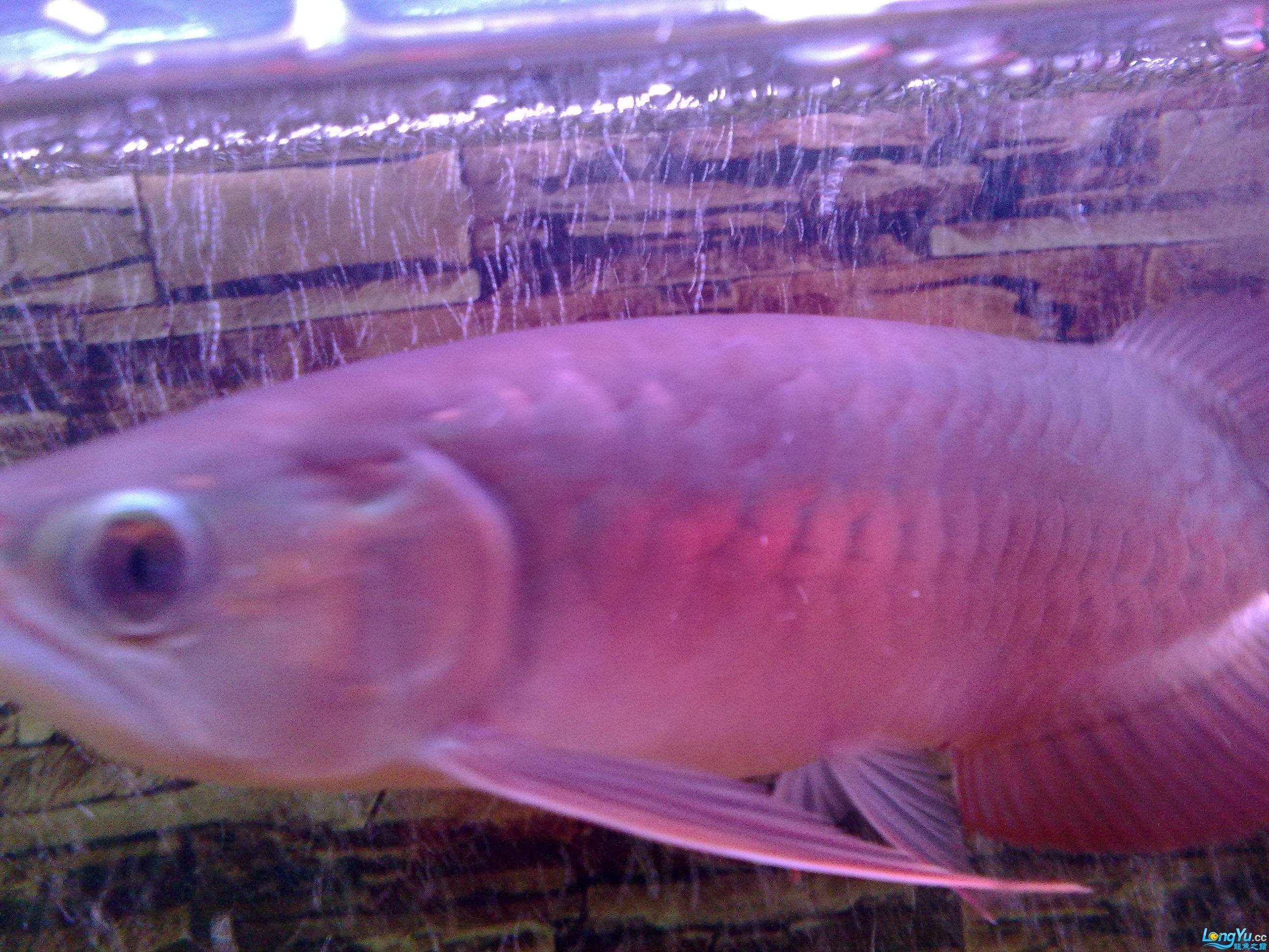 看看这只到底是红龙还是宝石! 绵阳龙鱼论坛 绵阳水族批发市场第2张