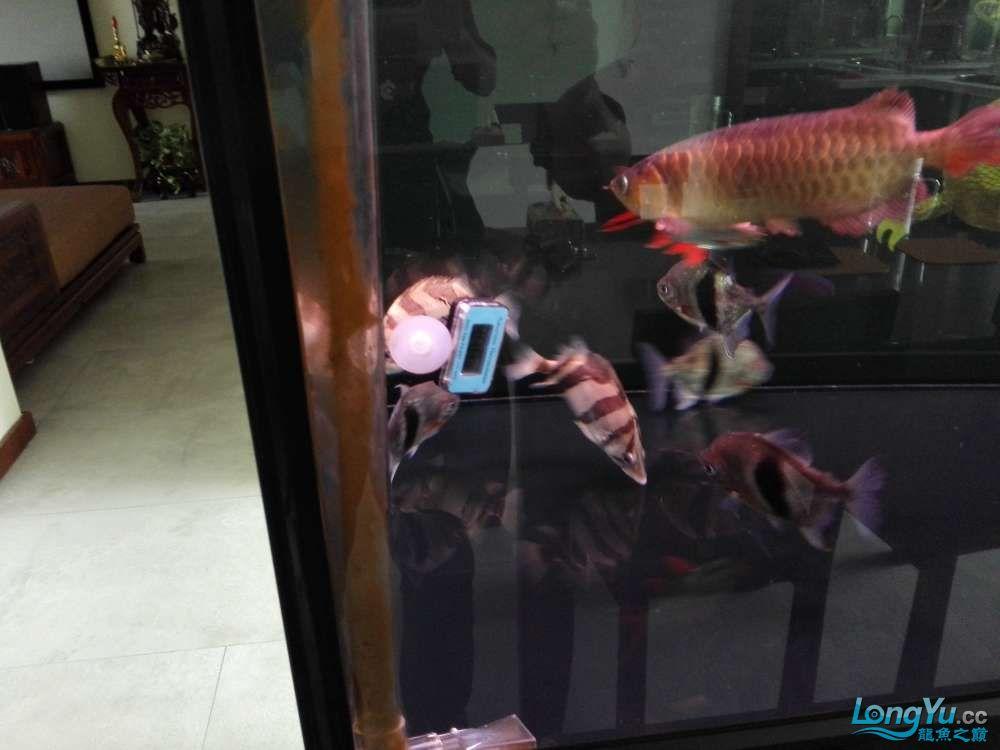 大家帮看下怎么样.22cm左右.多少钱合适. 绵阳龙鱼论坛 绵阳水族批发市场第5张