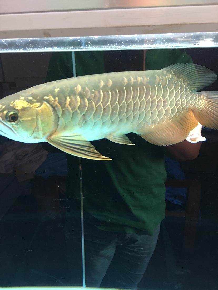 绵阳红龙鱼龙鱼不吃食怎么办? 绵阳龙鱼论坛 绵阳水族批发市场第1张