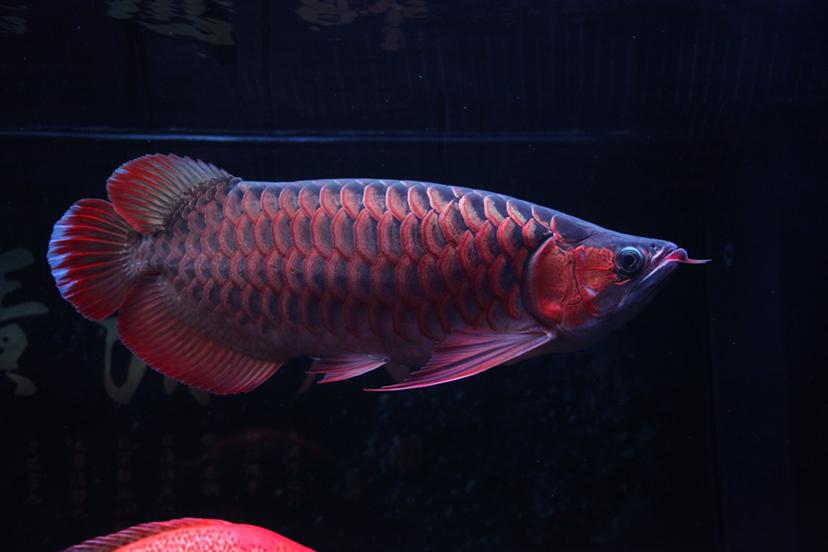 21个月的红龙 绵阳龙鱼论坛 绵阳水族批发市场第1张