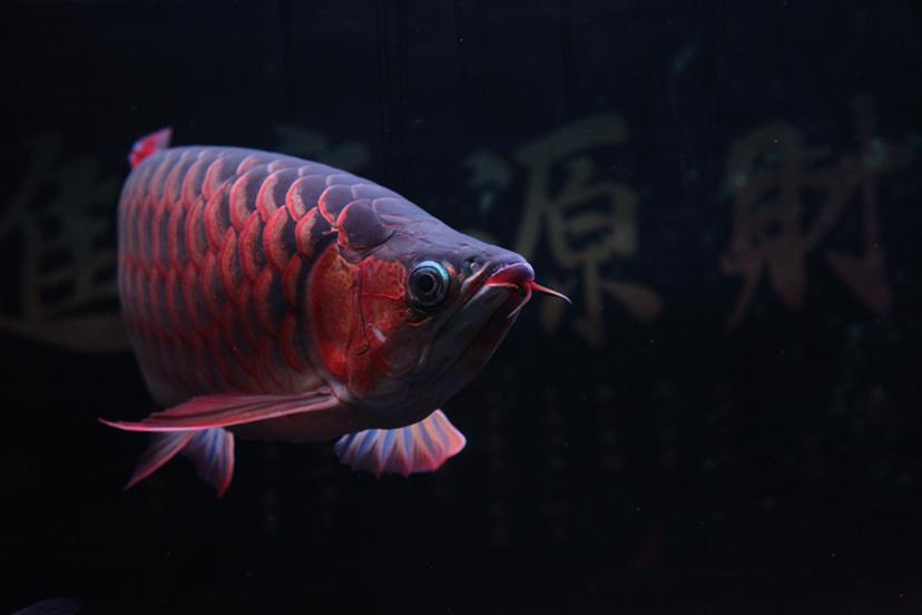 21个月的红龙 绵阳龙鱼论坛 绵阳水族批发市场第3张