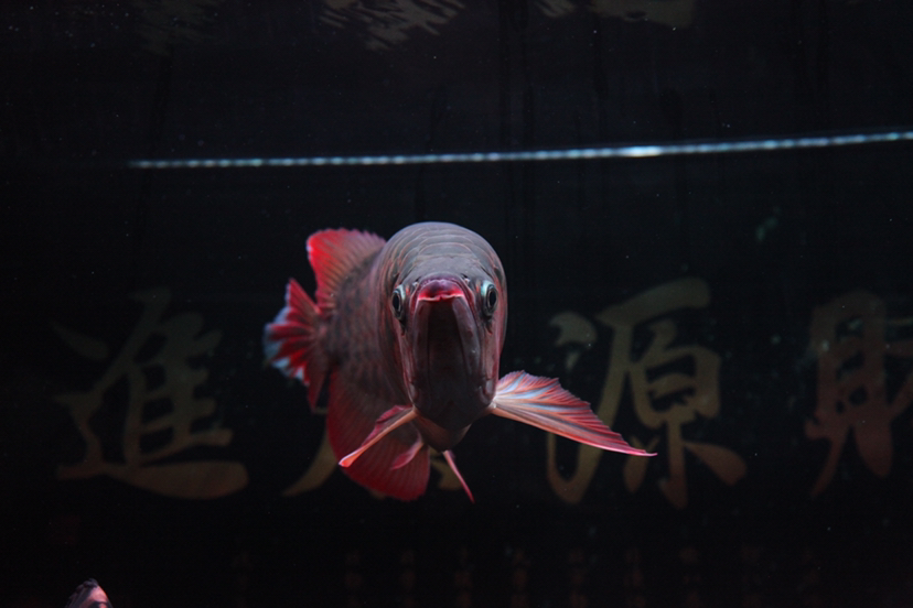 21个月的红龙 绵阳龙鱼论坛 绵阳水族批发市场第4张