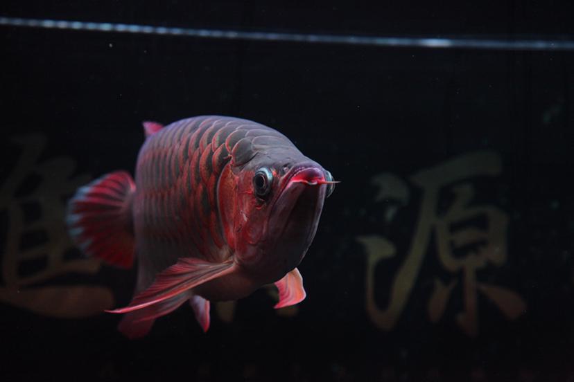 21个月的红龙 绵阳龙鱼论坛 绵阳水族批发市场第6张
