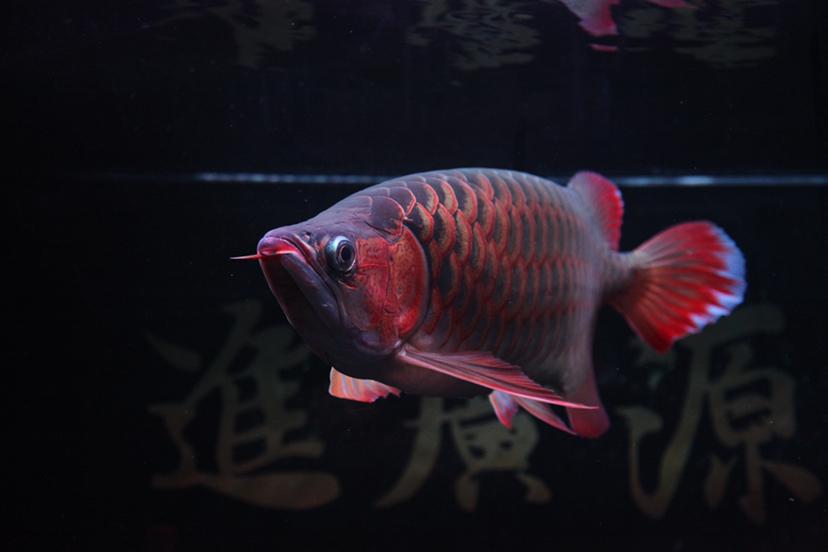21个月的红龙 绵阳龙鱼论坛 绵阳水族批发市场第8张