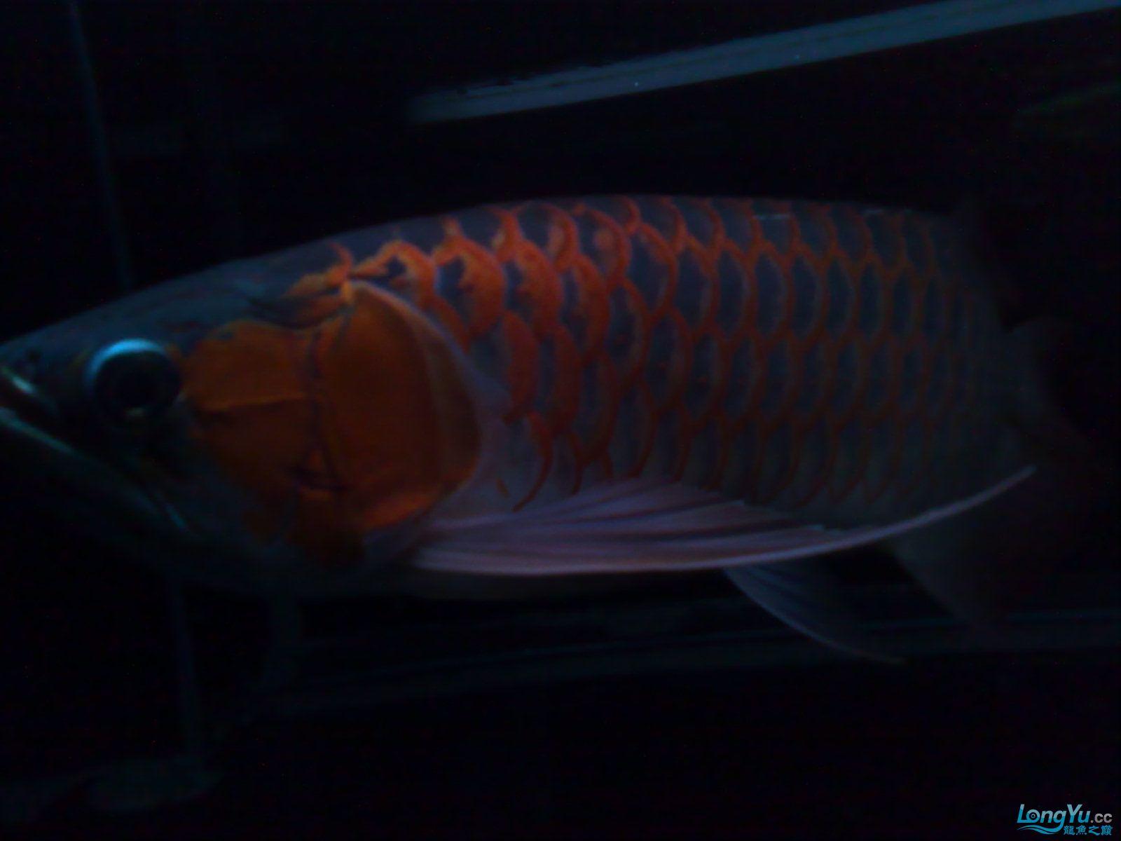 非常美丽的红龙 绵阳龙鱼论坛 绵阳水族批发市场第2张