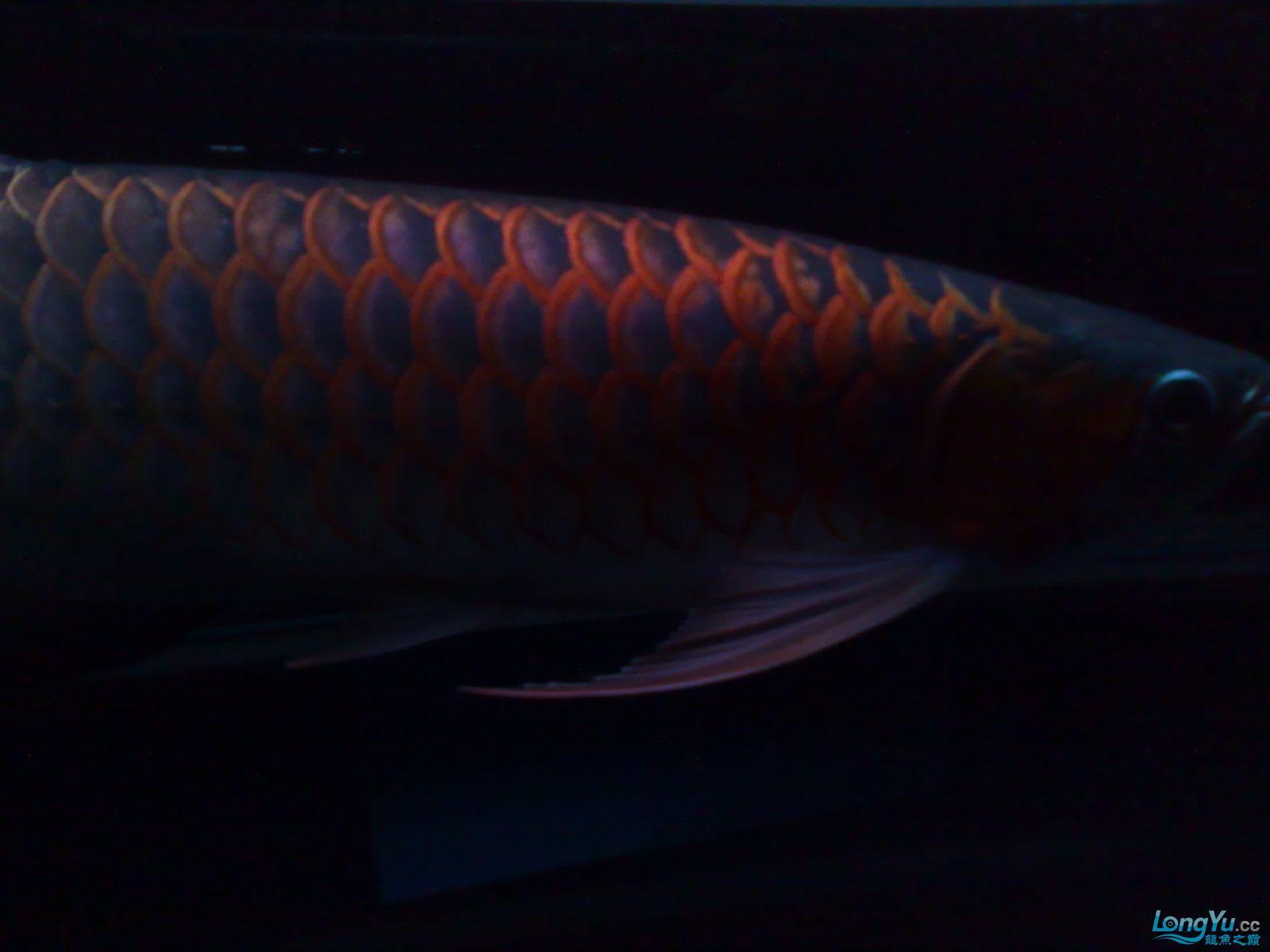 非常美丽的红龙 绵阳龙鱼论坛 绵阳水族批发市场第3张
