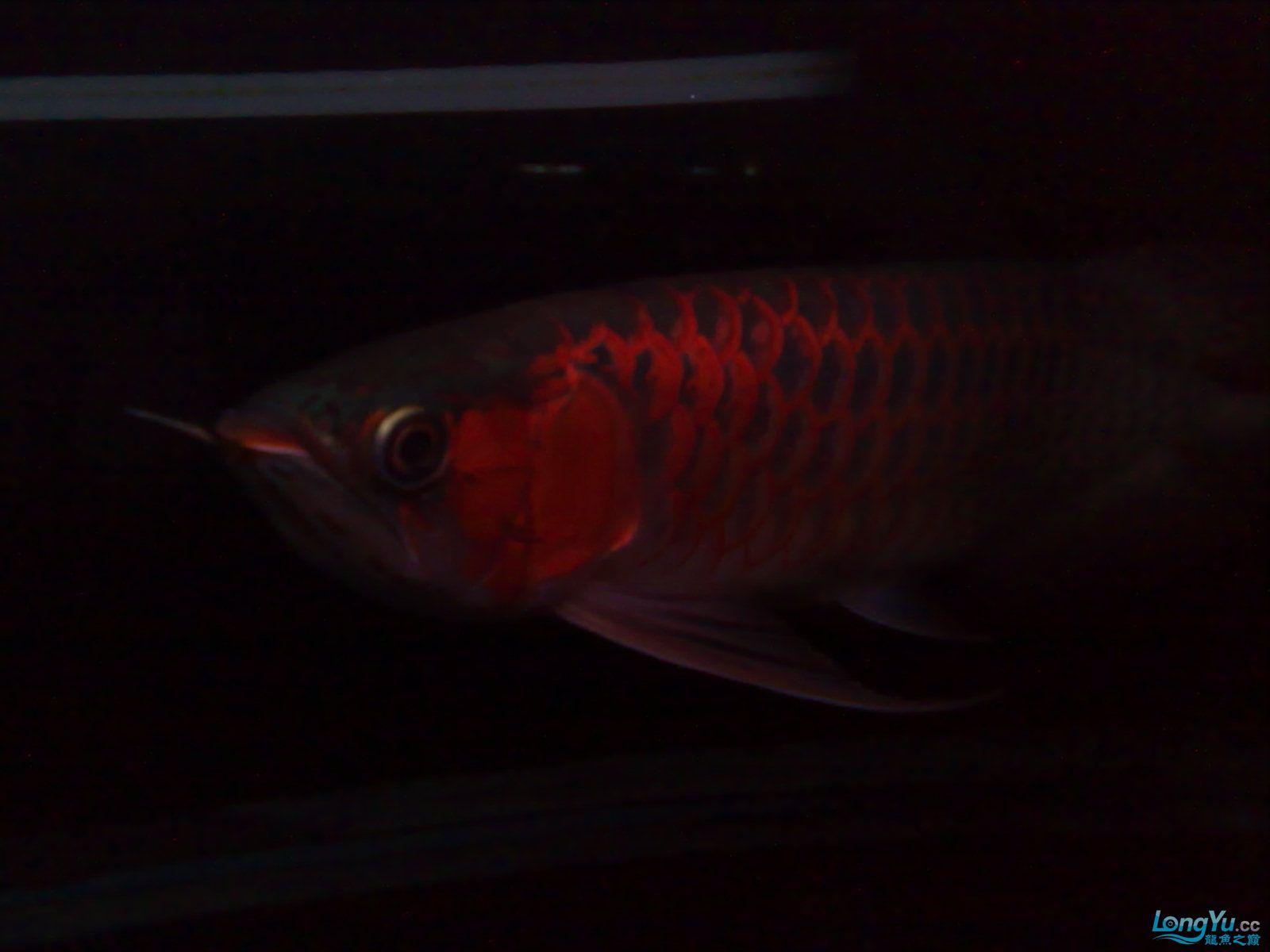 非常美丽的红龙 绵阳龙鱼论坛 绵阳水族批发市场第4张