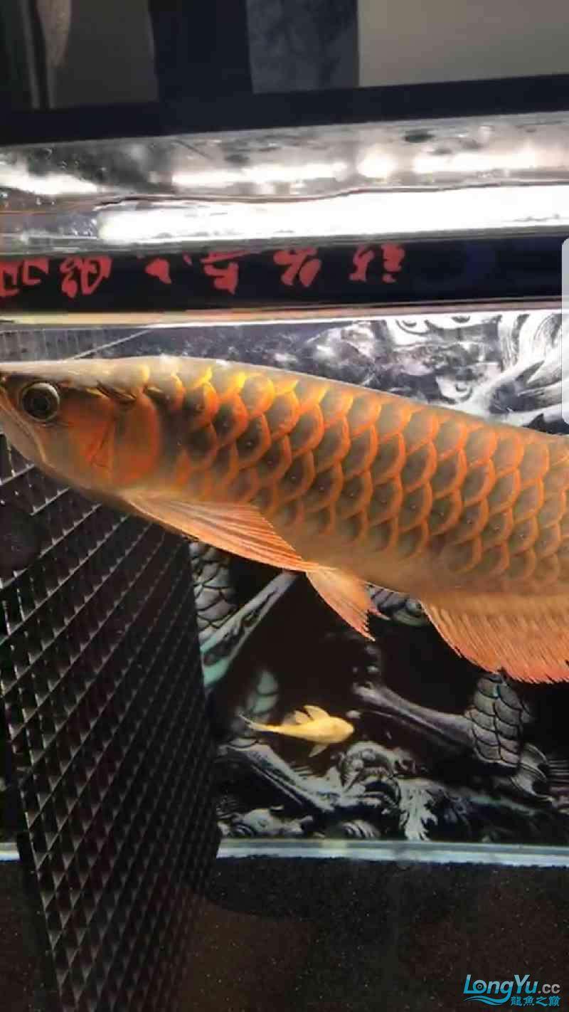 看看这条红龙怎么样,给点意见 绵阳龙鱼论坛 绵阳水族批发市场第1张