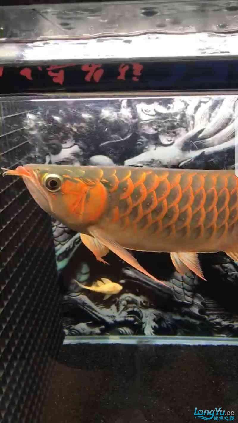 看看这条红龙怎么样,给点意见 绵阳龙鱼论坛 绵阳水族批发市场第2张