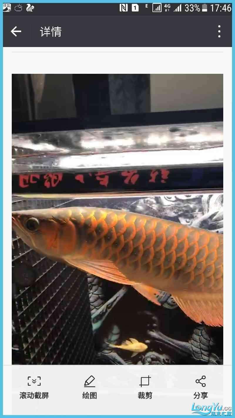 看看这条红龙怎么样,给点意见 绵阳龙鱼论坛 绵阳水族批发市场第3张