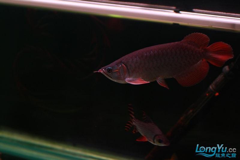 小红四个月了。 绵阳龙鱼论坛 绵阳水族批发市场第6张