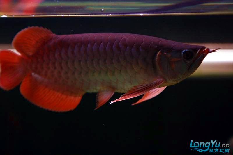 小红四个月了。 绵阳龙鱼论坛 绵阳水族批发市场第7张