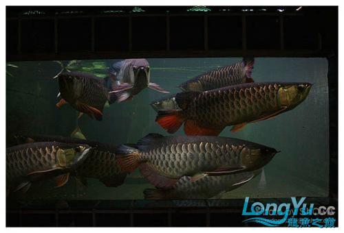 外国龙鱼玩家的混养。。。 绵阳龙鱼论坛 绵阳水族批发市场第1张