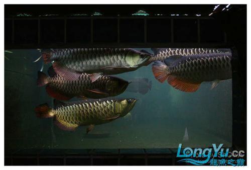 外国龙鱼玩家的混养。。。 绵阳龙鱼论坛 绵阳水族批发市场第12张