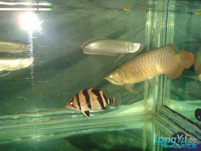 帮忙看下这虎什么品种的 绵阳龙鱼论坛 绵阳水族批发市场第2张