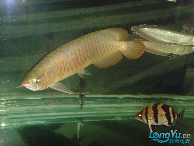 帮忙看下这虎什么品种的 绵阳龙鱼论坛 绵阳水族批发市场第1张