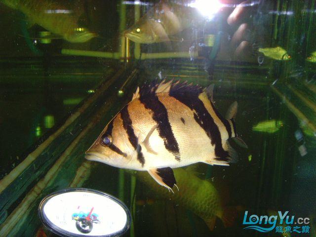 帮忙看下这虎什么品种的 绵阳龙鱼论坛 绵阳水族批发市场第3张