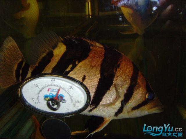 帮忙看下这虎什么品种的 绵阳龙鱼论坛 绵阳水族批发市场第4张