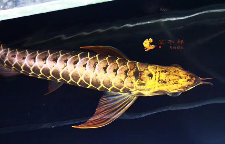 金头品质。#呈千祥# 绵阳龙鱼论坛 绵阳水族批发市场第1张