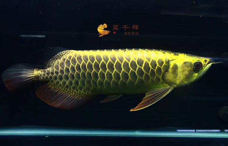 金头品质。#呈千祥# 绵阳龙鱼论坛 绵阳水族批发市场第3张
