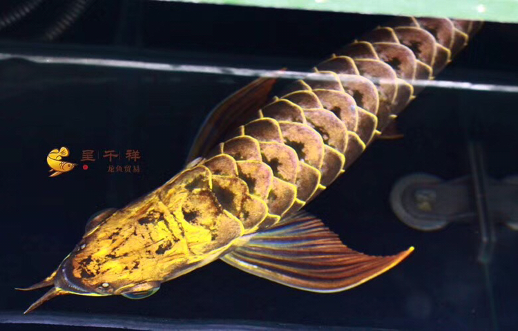 金头品质。#呈千祥# 绵阳龙鱼论坛 绵阳水族批发市场第2张