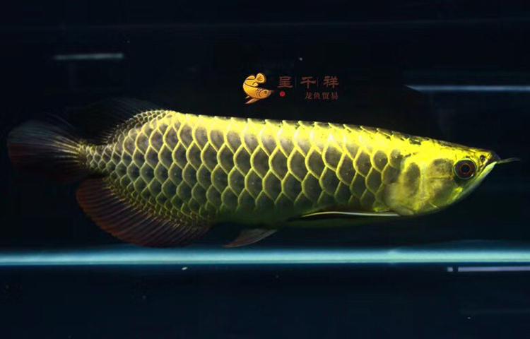 金头品质。#呈千祥# 绵阳龙鱼论坛 绵阳水族批发市场第4张
