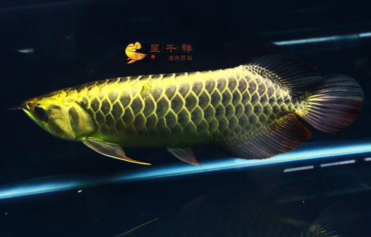 金头品质。#呈千祥# 绵阳龙鱼论坛 绵阳水族批发市场第5张