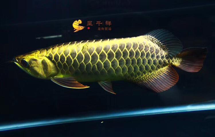 金头品质。#呈千祥# 绵阳龙鱼论坛 绵阳水族批发市场第6张