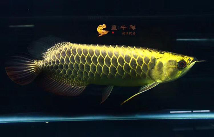 金头品质。#呈千祥# 绵阳龙鱼论坛 绵阳水族批发市场第7张