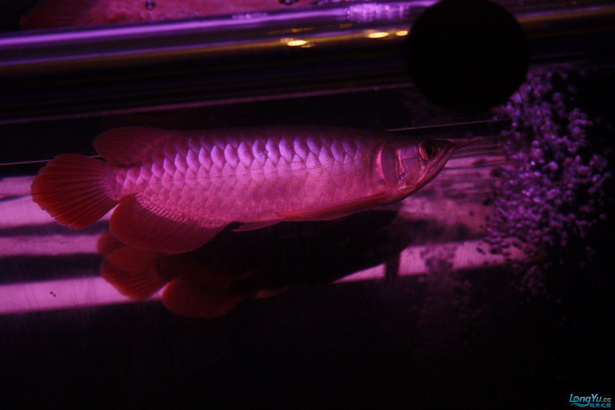 养了一个月的皇宫小红 绵阳龙鱼论坛 绵阳水族批发市场第1张