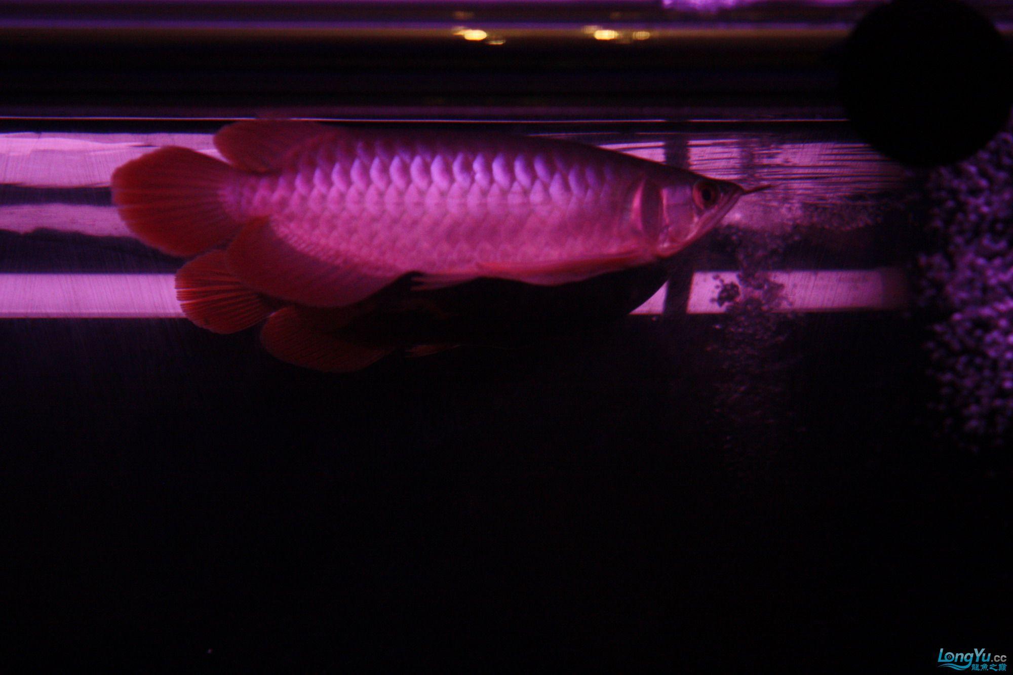 养了一个月的皇宫小红 绵阳龙鱼论坛 绵阳水族批发市场第5张