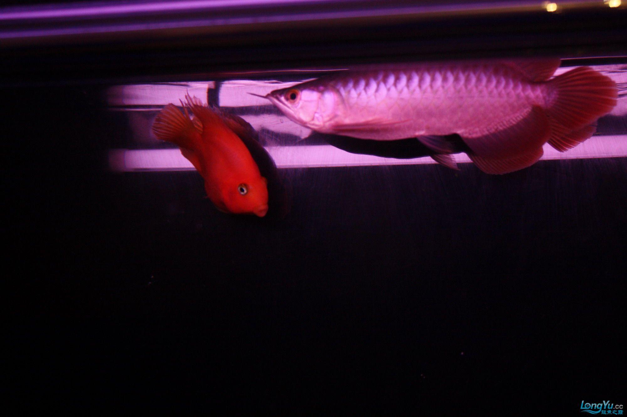 养了一个月的皇宫小红 绵阳龙鱼论坛 绵阳水族批发市场第7张