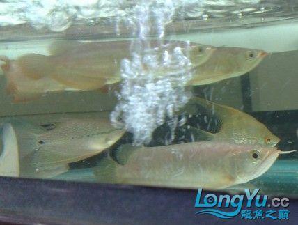 热泪中,我的小龙开口了,别低估龙鱼跳缸的高度 绵阳龙鱼论坛 绵阳水族批发市场第16张