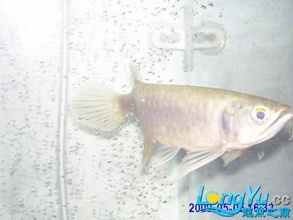 绵阳鱼缸批发市场小龙十八厘米长 绵阳龙鱼论坛 绵阳水族批发市场第1张
