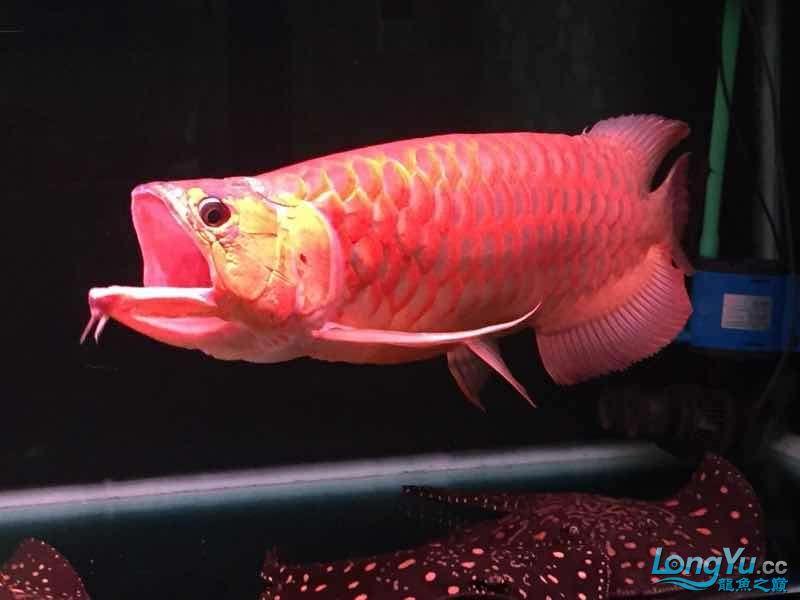 全过背超大红龙鱼70公分