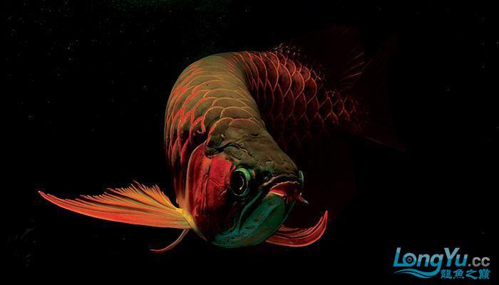 [ZT]龙鱼的基本知识 绵阳龙鱼论坛 绵阳水族批发市场第1张