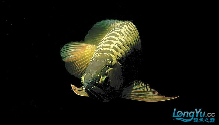 [ZT]龙鱼的基本知识 绵阳龙鱼论坛 绵阳水族批发市场第2张