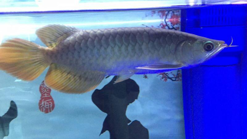 看看这是什么品种的红龙大神慢走请留步 绵阳龙鱼论坛 绵阳水族批发市场第2张