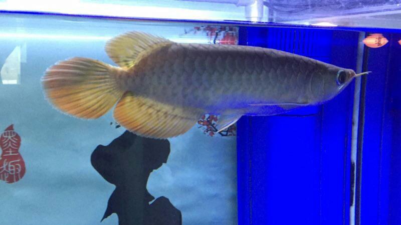 看看这是什么品种的红龙大神慢走请留步 绵阳龙鱼论坛 绵阳水族批发市场第3张