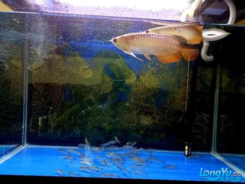 这条鱼,我觉得OK 绵阳龙鱼论坛 绵阳水族批发市场第1张