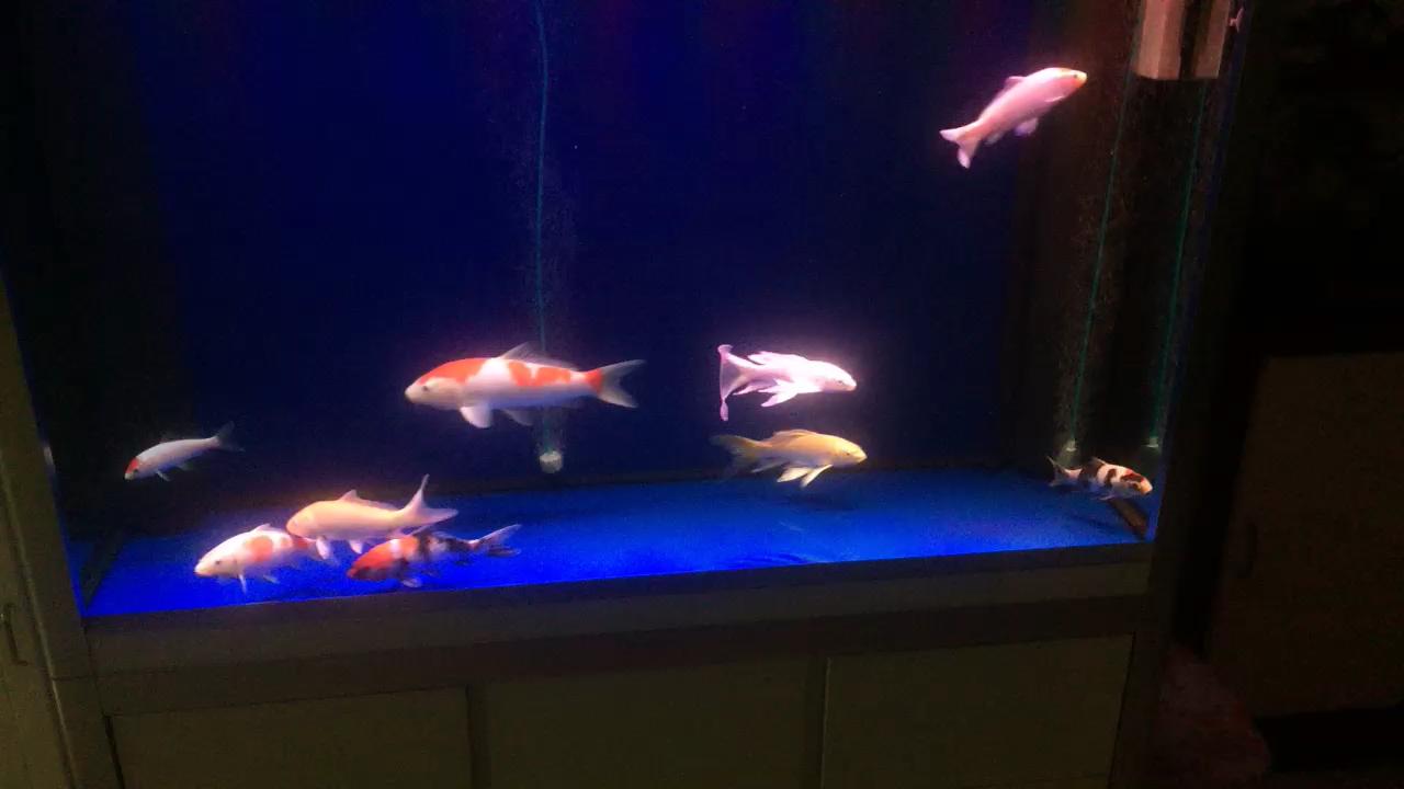 绵阳鱼缸红白那只一星期不吃食也不游上面 绵阳水族批发市场