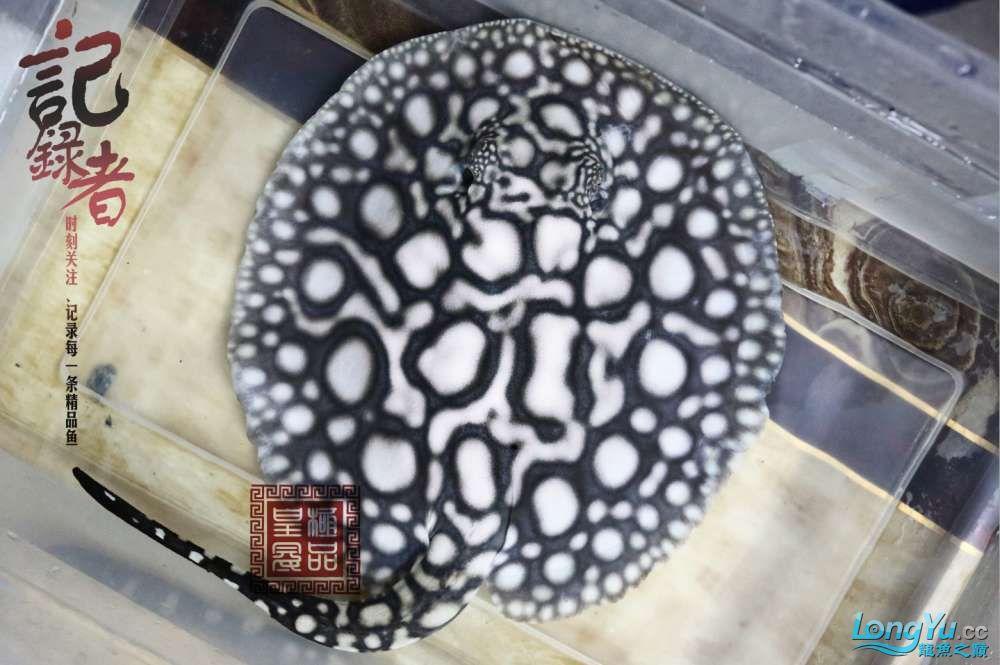 记录者 发掘极品皇冠母鱼 绵阳水族批发市场 绵阳水族批发市场第3张
